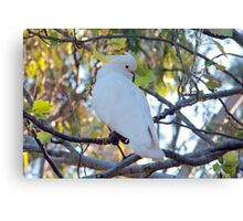 Australian Sulphur Crested Cockatoo Canvas Print