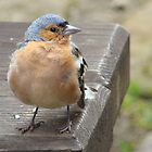 Chaffinch #1 by Talia Knight