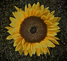 Sunflower by Louise Beattie