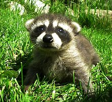 Baby Raccoon by Wild For Ever