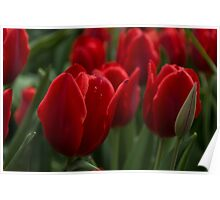 Vibrant Red Spring Tulips Poster