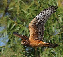 Harrier Hawk by tomryan