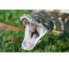 Darwin Carpet Python - Morelia spilota variegata Photographic Print