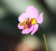 Moth on Cosmos by Laurie Puglia