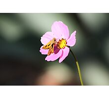 Moth on Cosmos Photographic Print