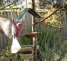 Galah landing on the feeder by georgieboy98