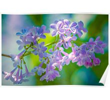 Purple Lilac Flowers Poster