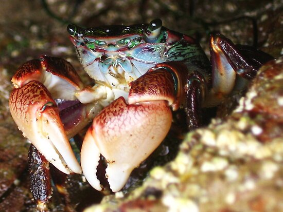 Fiddler Crab by jsmusic