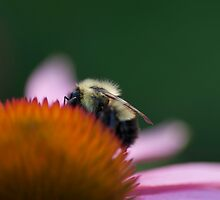Bee and Purple Cornflower by Gerry Curry