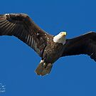 Bald Eagle II by imagetj