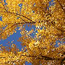 Ginkgo Blues by Patricia Montgomery