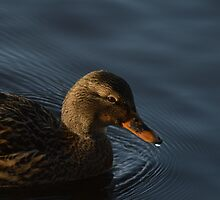Winter Duck - Duck swimming in the winter sun / animal photography / nature by verypeculiar