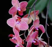 Orchid by Louise Sharpe