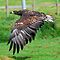 White Tailed Sea Eagle by Mark Holderness