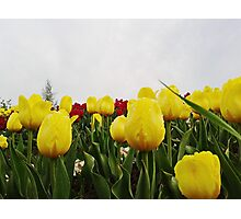 Yellow tulips 4 Photographic Print