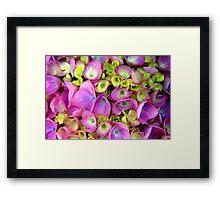 Hortensia rose. Framed Print