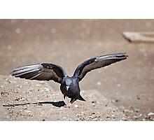 bird of prey Photographic Print