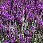 Lavender by gypsygirl