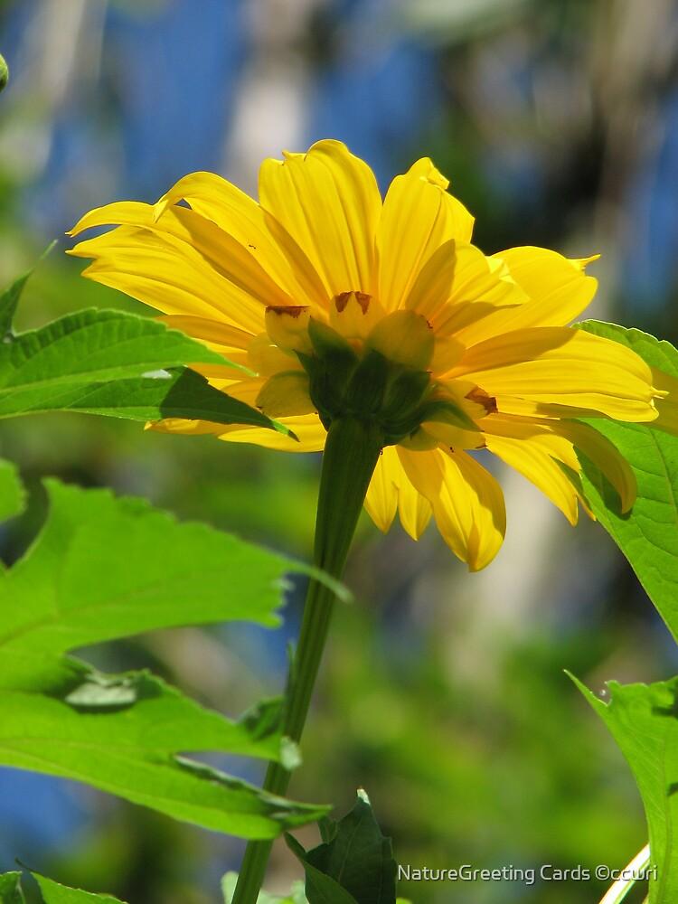 Sunny Daisy by NatureGreeting Cards ©ccwri