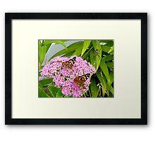Butterfly buffet  Framed Print