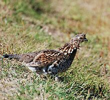 Ruffled Grouse Slightly Ruffled by Lynda   McDonald