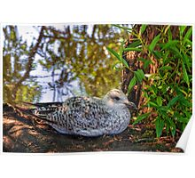 This Gull has found a shady spot.............. Poster