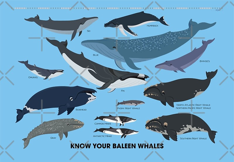 """Know Your Baleen Whales"" Metal - 97.6KB"