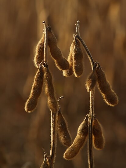 Dried Soybeans in Autumn Dusk by Anna Lisa Yoder