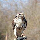 Red Shoulder Hawk by Rick  Friedle