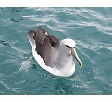 Shy Albatross Photographic Print