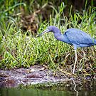 Blue Heron by J. Day
