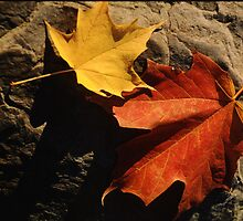 Maple Leaf Pair on Shadowy Rock by Anna Lisa Yoder