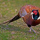 Cock Pheasant by Krys Bailey