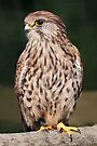 European Kestrel by Krys Bailey