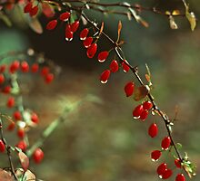 American Barberry with Raindrops by Anna Lisa Yoder