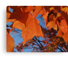 Sugar Maple Leaves with Azure Canvas Print