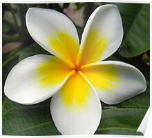 Single white and yellow centred frangipani blossom Poster