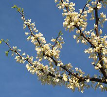White Redbud Branch by Anna Lisa Yoder