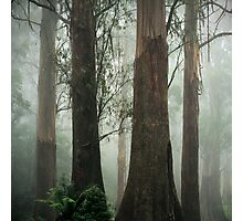 Old Growth Mountain Ash. Photographic Print