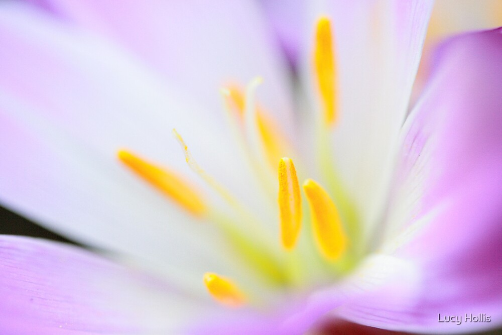 Crocus by Lucy Hollis