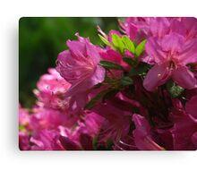 Fuchsia Azalea in Full Glory Canvas Print