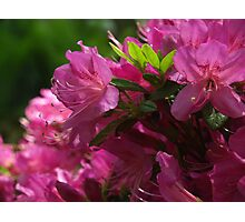 Fuchsia Azalea in Full Glory Photographic Print