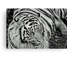 Captive Tiger Canvas Print