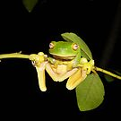 Red-Eyed Green Tree Frog, Litoria chloris by peterstreet
