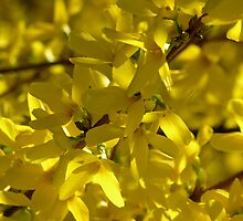 spring forsythia by 1busymom