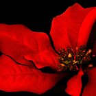 Poinsettia Passion by Renee Dawson