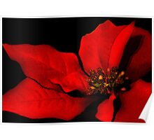 Poinsettia Passion Poster