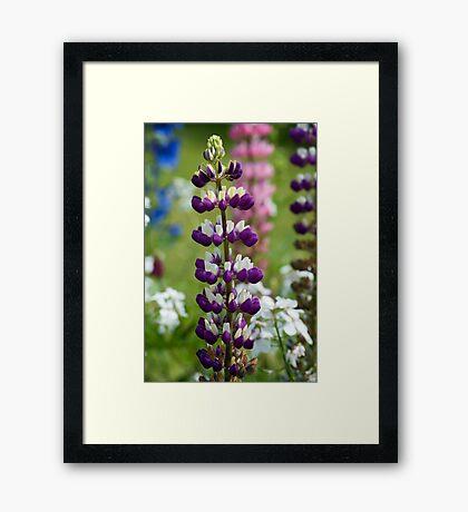 Lupin Flower Framed Print