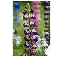 Lupin Flower Poster