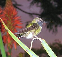 Hummingbird in Aloe Vera by jsmusic
